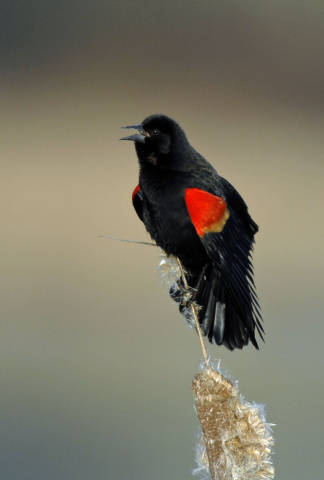 Adult-male-Red-winged-Blackbird