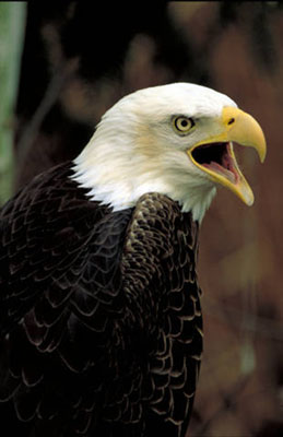 Bald eagle cawing