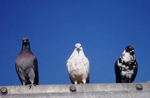 pigeons-different-colors