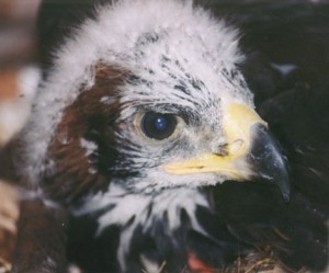 baby-Eagle-300x249