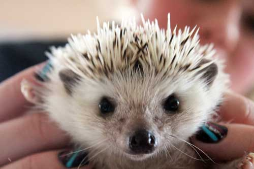 hedgehog-cute-face-1